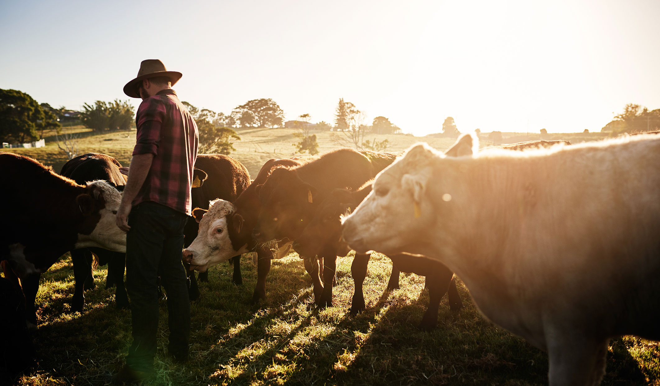 Farmer tending to livestock on an Australian farm